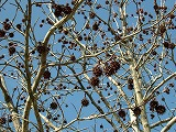 いがいがのとげの実のなる木