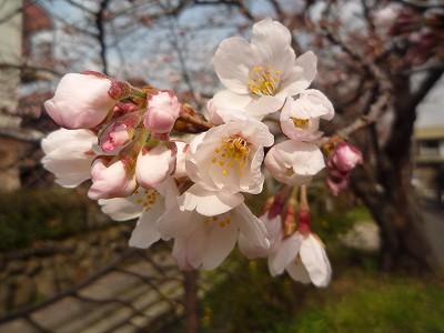 桜100323