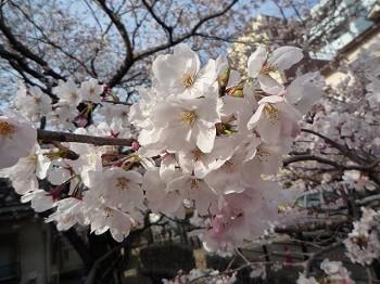 桜031030