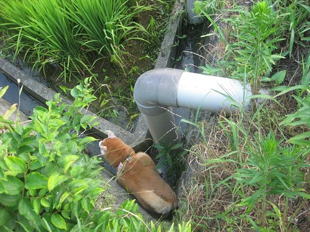 排水溝に小夏がっ!!