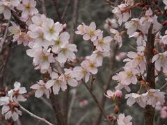 啓翁桜 (2)