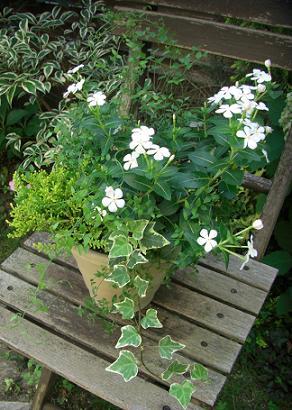 ニチニチソウの寄せ植え