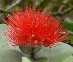 Lehua_flower_red.jpg
