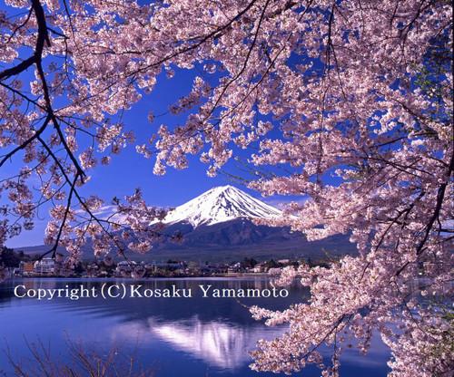 桜花爛漫 (河口湖)