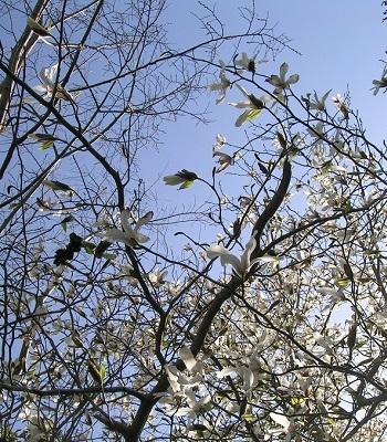 コブシ_Kobushi_magnolia_辛夷_Magnolia_kobus_Kotechai_01_350x400