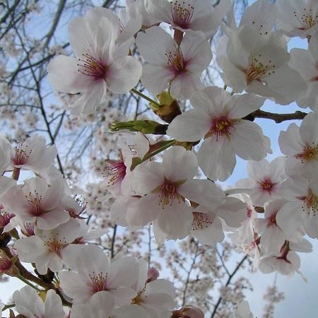桜_さくら_Sakura_cherry blossoms_Kotechai_2013_450x450