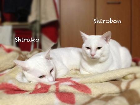 シロボンしらこ2013.12.16