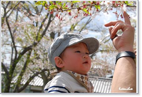 これが桜だよ~