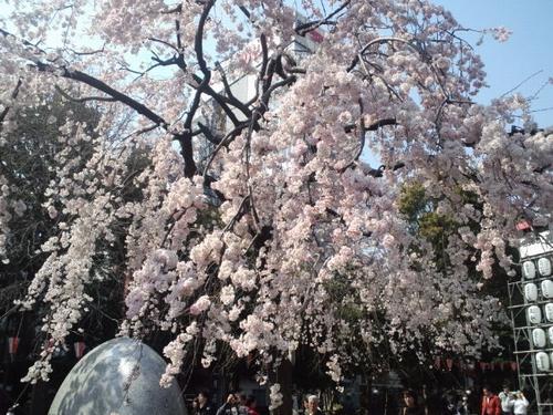 上野の桜2011