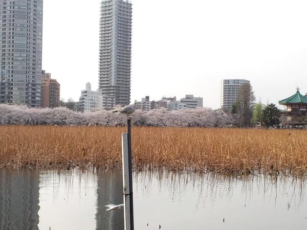 不忍の池から見る桜