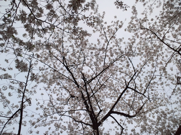 2011年の桜も綺麗