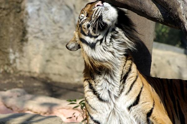 すりすりしてる虎さん