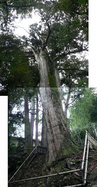 書写山の大杉目通り8.4m高さ35m