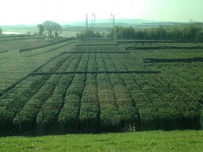 城陽市河川敷の茶畑130109