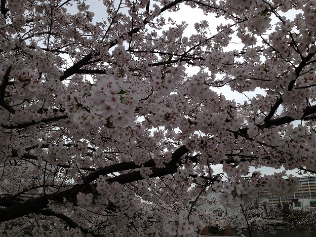 IMG_3463●城北川の桜
