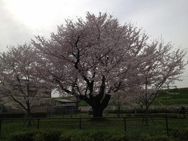 4月7日つづき④旭区太子橋中公園サクラ巨木