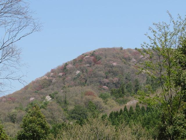 G_0291●車作付近から山桜