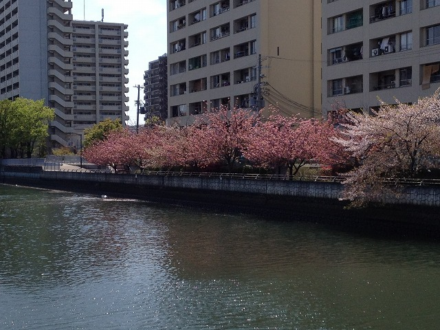 IMG_4110●八重桜は満開でした