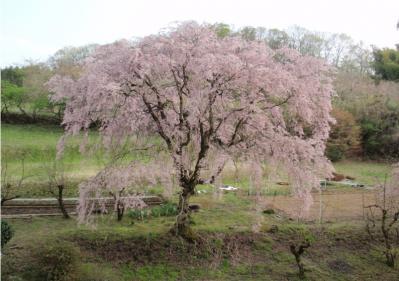 下古沢のしだれ桜  4月13日