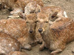 仲のよい鹿