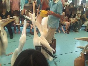 鳥パレード ペリカン