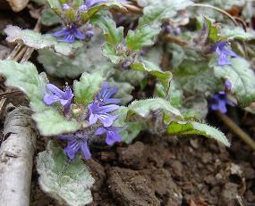 むらさきの小さい花