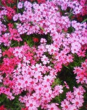 NEC_1784 しば桜?