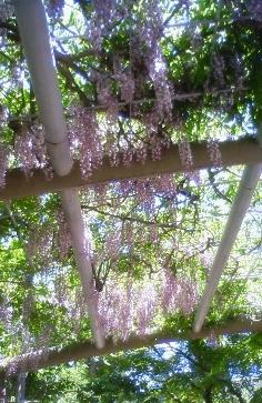 NEC_1901 藤の花