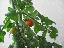 赤くなってるミニトマト