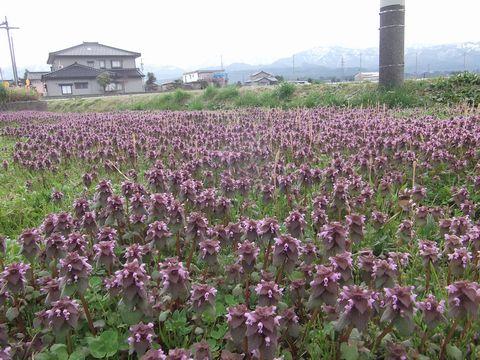 murasaki0406-1.jpg