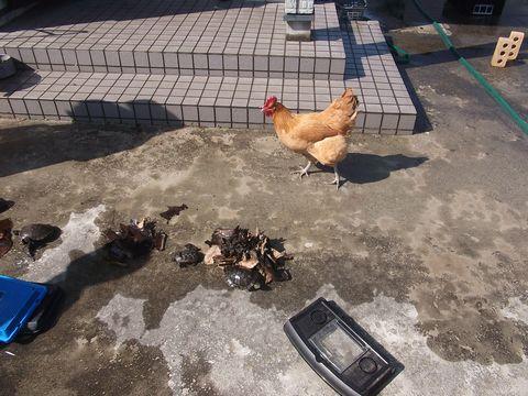 niwatori0317-1.jpg
