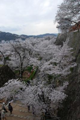津山城の桜