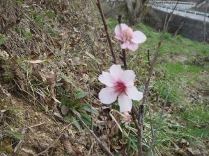 アーモンドの花が咲く