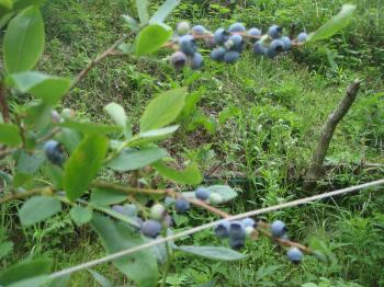 早めのブルーベリー収穫