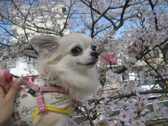 くるみと桜-1