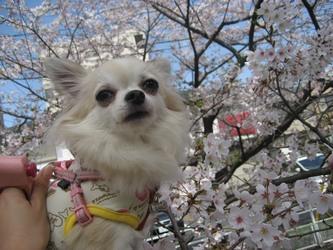 くるみと桜-2