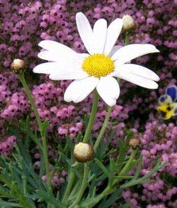 Argyranthemum_frutescens1.jpg