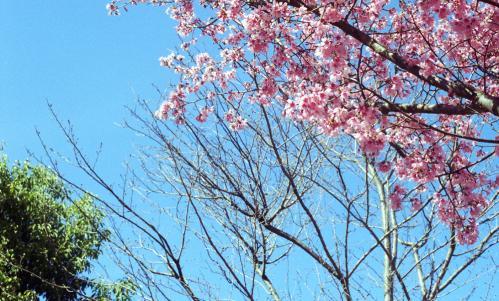 サクラ 早咲き