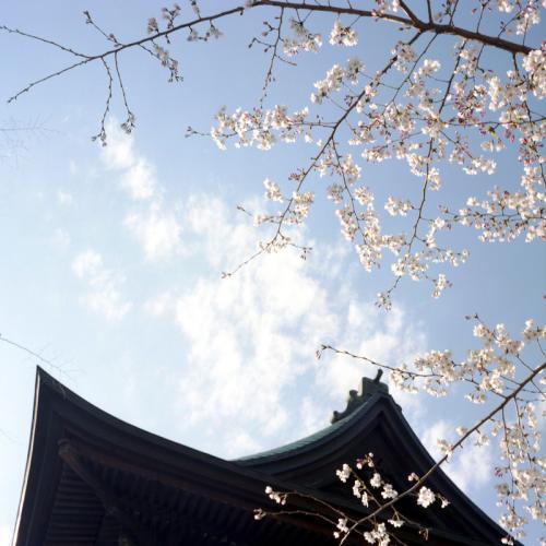称名寺 桜1
