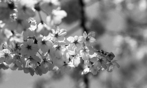 称名寺 桜4