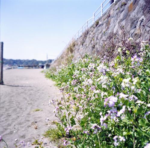 材木座海岸 なんの花?