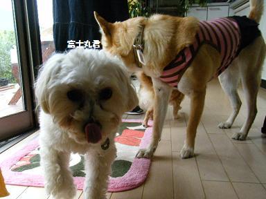 富士丸も元保護犬です。。。