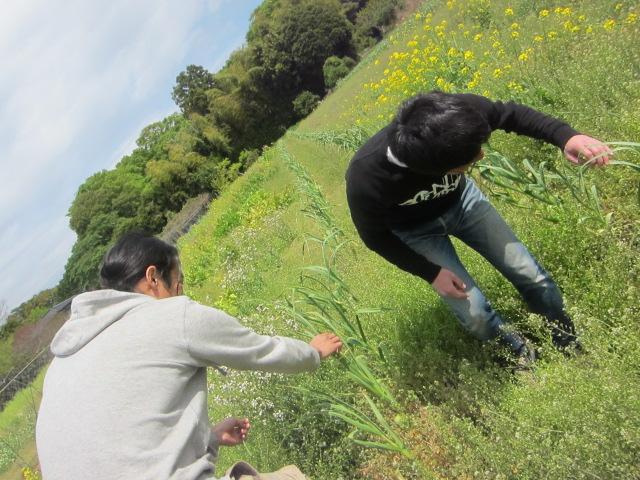 にんにくの芽収穫