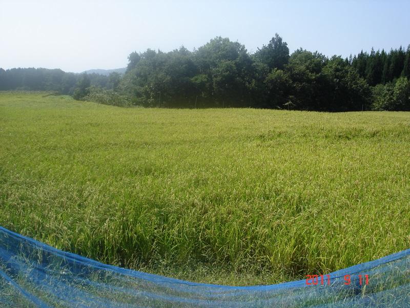 来月収穫予定のお米は実がついており、色づき始めていました
