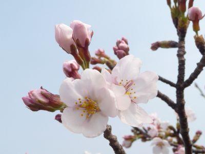 11.04.05桜