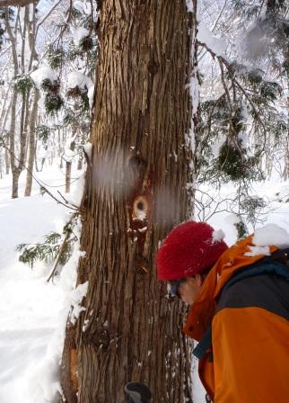 クマゲラの採餌木発見!
