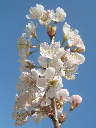3/23 暖地桜桃
