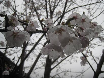 4/2 ソメイヨシノ