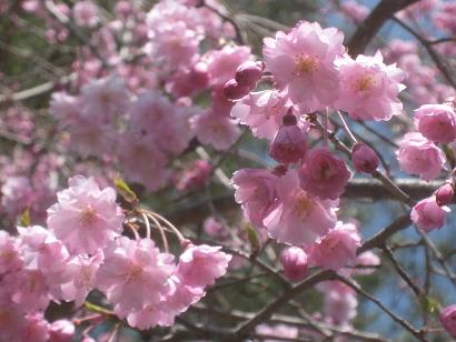 4/8 枝垂れ桜