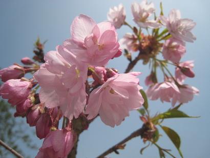 4/15 旭山桜